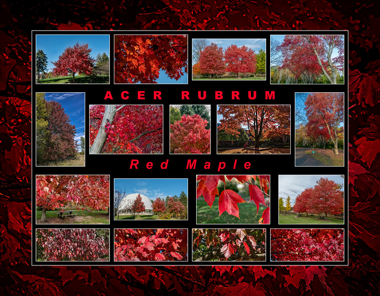 Fall primer:  Acer rubrum, red maple