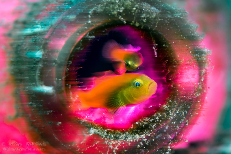 Goby in motion (1 of 1).jpg