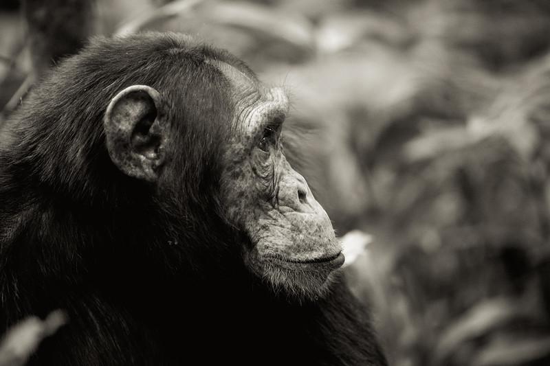 Uganda_T_Chimps-1767.jpg