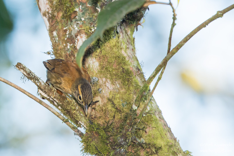 Scaly-throated Foliage-gleaner - Record - Mindo, Ecuador