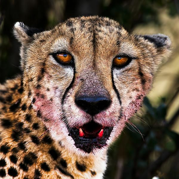 AF1T7473_Bloody_Cheetah.jpg
