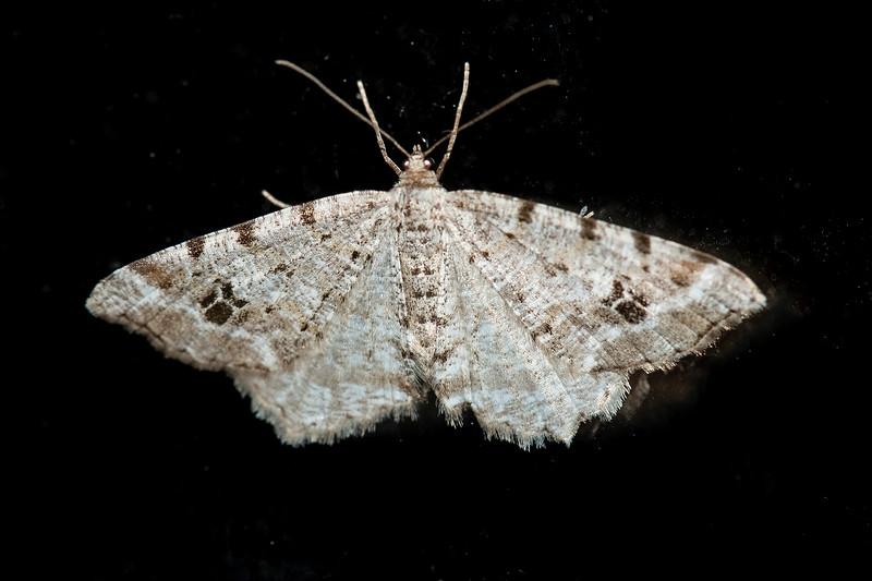 Angle-Common-(Macaria aemulataria) - Dunning Lake - Itasca County, MN