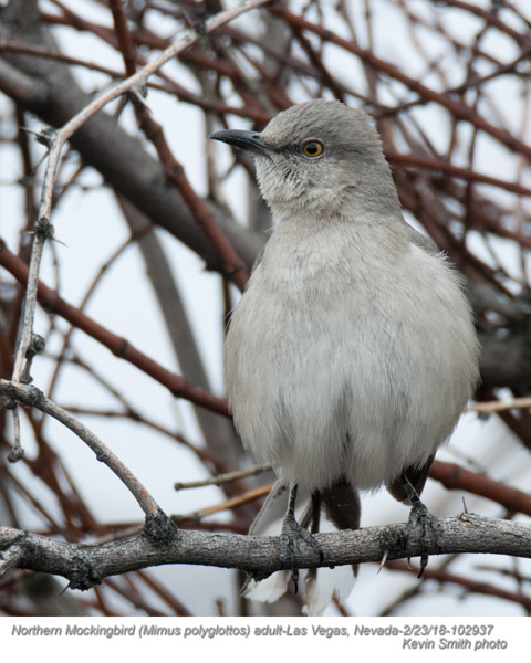 Northern Mockingbird A102937.jpg