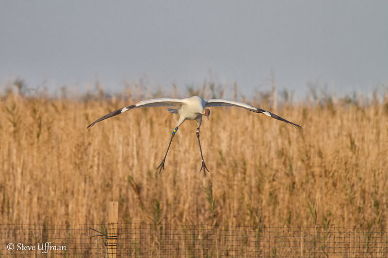 20120207-_MG_2750Whooping_Cranes_White_Lake-Edit.jpg