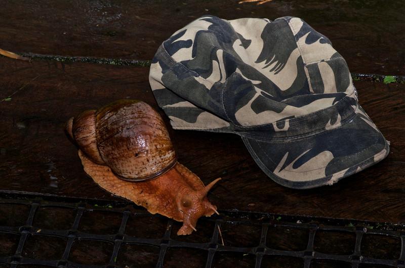 Giant Amazon Land Snail (Ampullaria gigas spix)