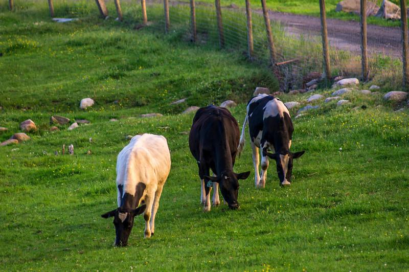 Cows 1 SM.jpg