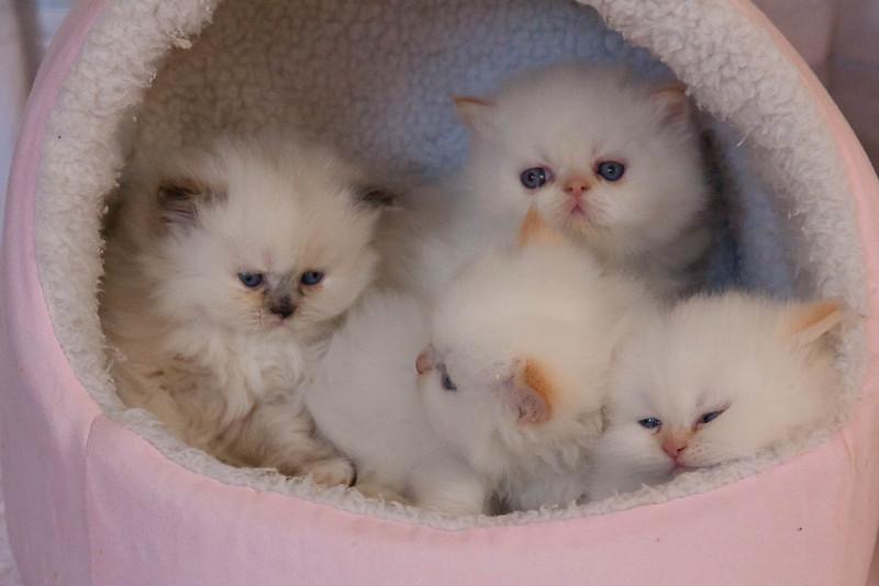 Himi_Kittens_Nov30-8208.jpg