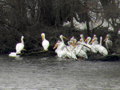 SIGHTING DETAILS OF WHITE PELICANS (Winter-Spring 2019)