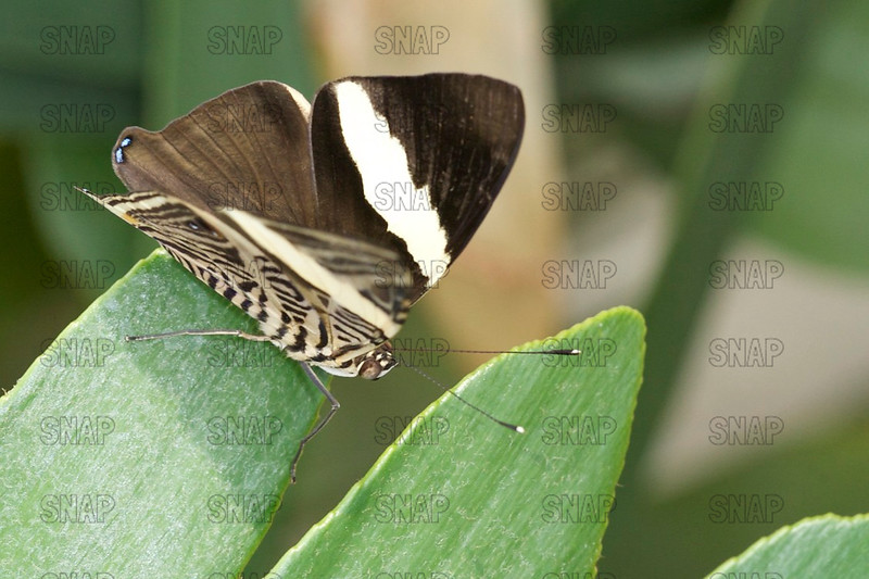 Mosaic; Dirce Beauty; or Zebra Mosaic; (Colobura dirce), from Central and South America.