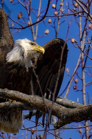 New Eagle Photos