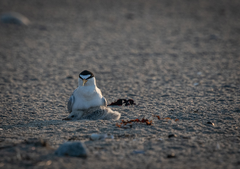 Least Tern mom + 1 flat