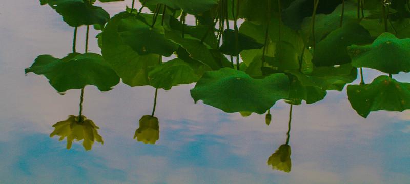 LOTUS REFLECTIONS FOREST PARK SAINT LOUIS