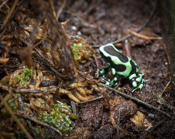 Dart frogs for terrariam