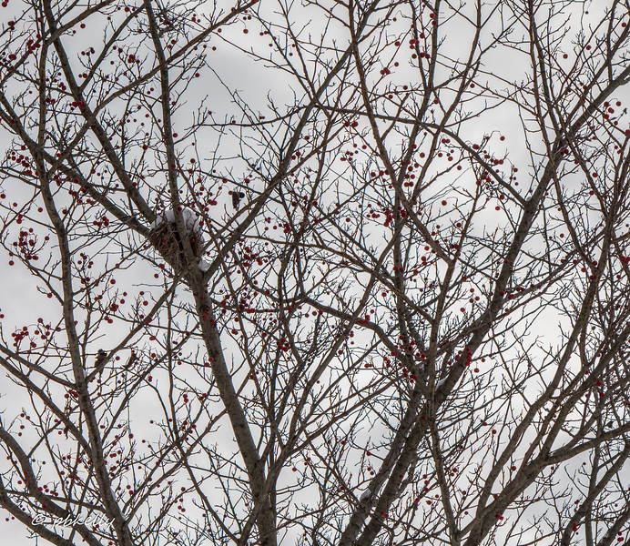 nest in tree 013017.jpg