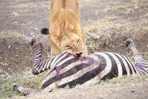 Lions Mara Asilia Kenya 2015