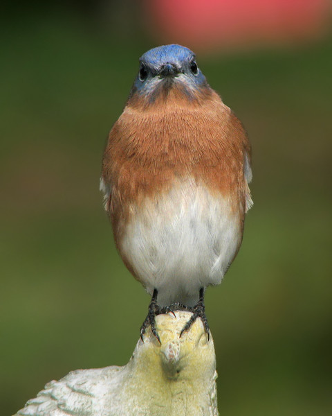bluebird_3638.jpg