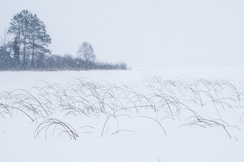 Bulrushes and snow Nichols Lake Sax-Zim Bog MN SNY04199.jpg