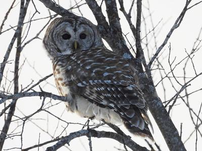 20210220 Owls & Turkeys