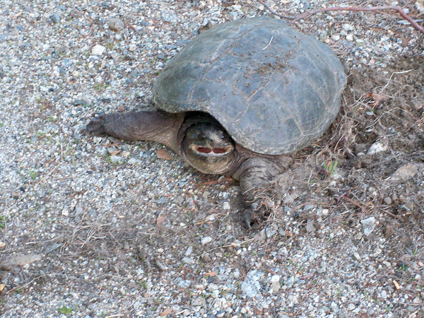 Turtle Mom