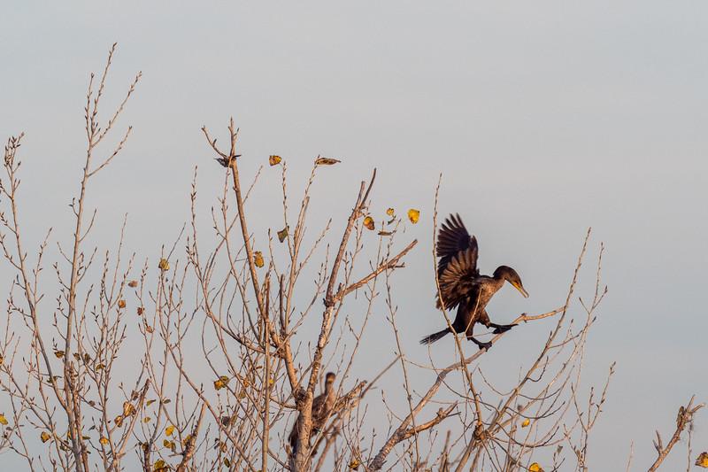 Sepulveda Basin Wildlife Reserve, Double-crested Cormorant (Phalacrocorax auritus)