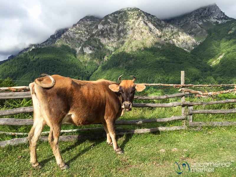 Cow Welcomes Us to Lepushe, Albania