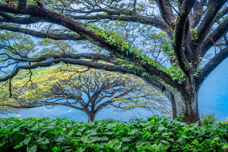 Monkey Pod Tree, Maui, Hawaii