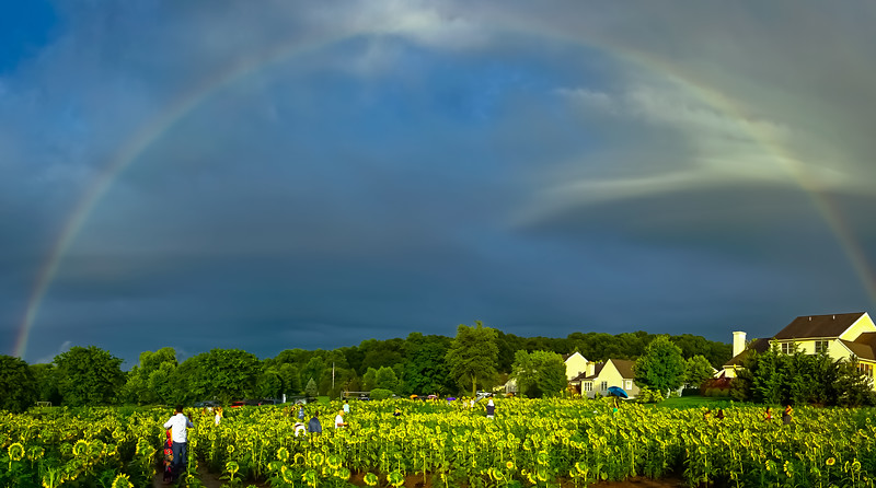 1508- sunflowers 2018 - full rainbow arch elverson