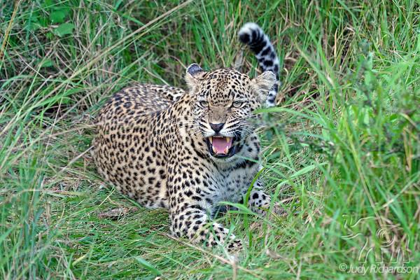 Leopards ~ 2014