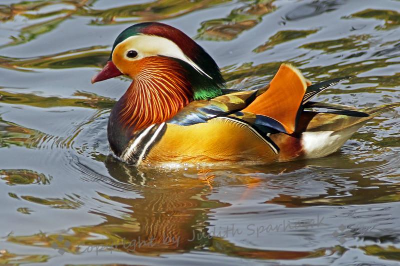 Mandarin Duck - Judith Sparhawk