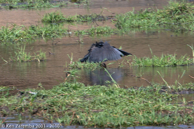 Black heron with feather canopy to aid in fishing