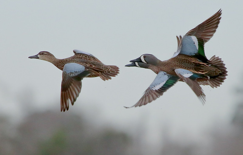 For a few minutes one day, Dave Billingsley and I enjoyed a memorable airshow by the Blue-winged Teal (more later).