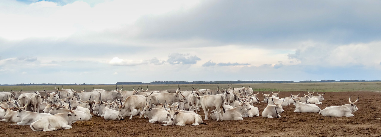 Traditional Hungarian Cattle in Pustza near Debrecen, Hungary