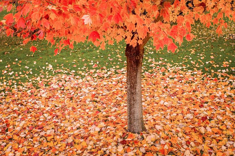 Maple Tree Losing its Bright Orange Leaves