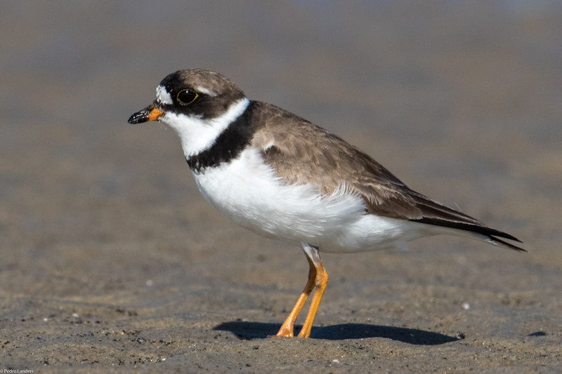 Plover 4 - Semipalmated