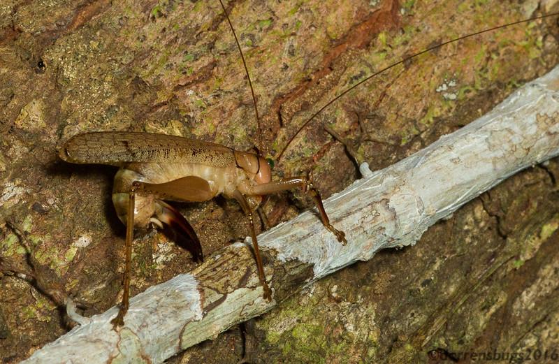 A female katydid (Tettigoniidae) deposits her eggs in a woody stem in Panama.