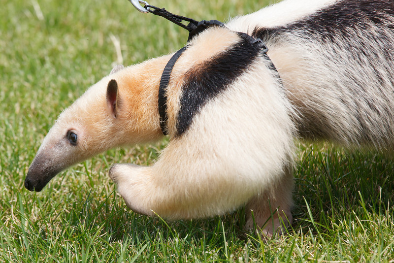 South American Anteater Taking A Walk