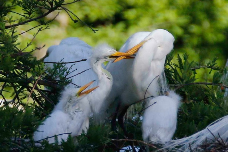 Feeding Egret Chicks.jpg