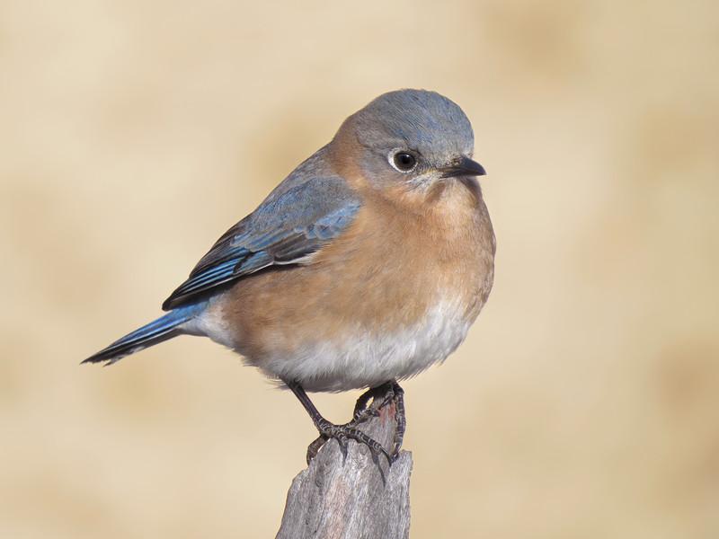 sx50_bluebird_boas_269.jpg
