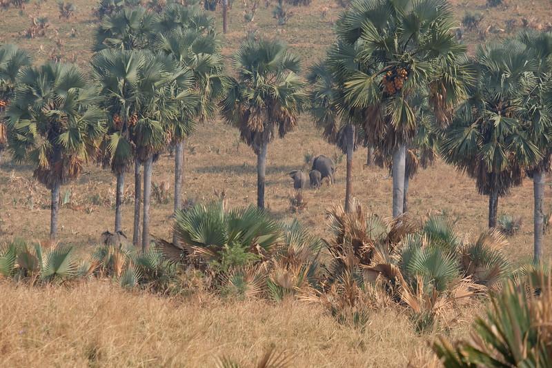 Elephants enjoying the Borassus