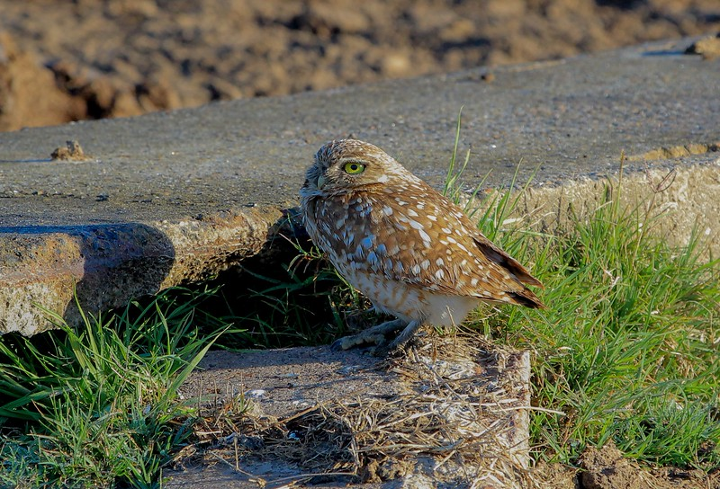 zzAnahuac,2-16-16 027A Burrowing Owl at nest.jpg