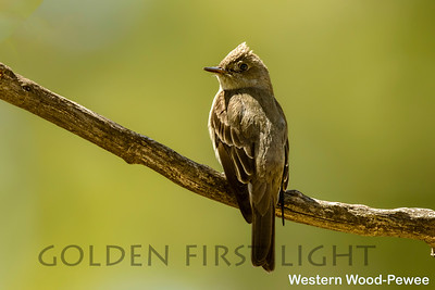 Western Wood-Pewee, Tucson AZ, USA
