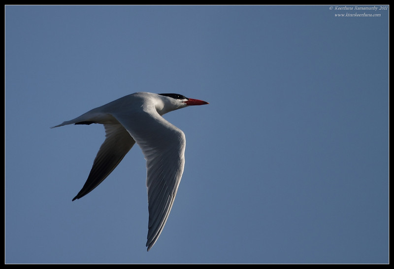 Caspian Tern, Flood Control Channel, San Diego RIver, San Diego County, California, April 2011