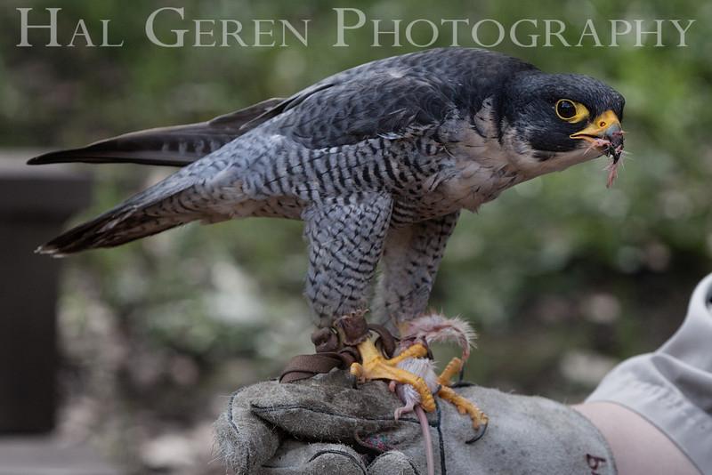 Peregrine Falcon Hayward, California 1303S-PF7EM