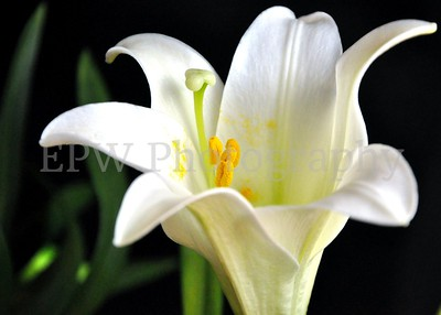 Easter Lily 1