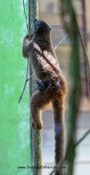 White-fronted Brown Lemur with Baby