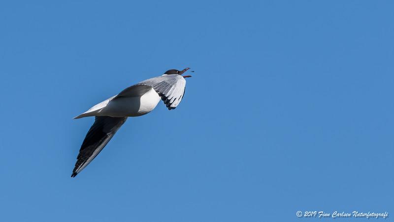 Hættemåge - Chroicocephalus ridibundus - Black-headed gull
