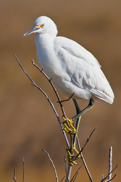 Snowy Egret, Merritt Island NWR