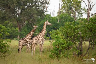 Southern Giraffe in Khwai