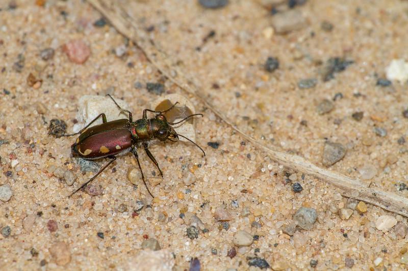 Cicindela scutellaris subspecies Lecontei Festive Tiger Beetle Sauk Prairie Recreation Area WI  IMG_0323.jpg