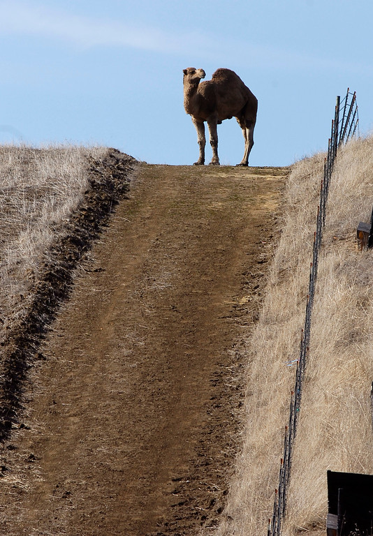 . Along Bailey Road, a road less traveled, motorists are treated to an uncommon sight of a camel as it takes in the view from the top of this hilltop on Jan. 3, 2012, in Bay Point, Calif. It is not known if this is the camel that got loose on Bailey Road on Tuesday, Feb. 5  (Susan Tripp Pollard/Staff Archives)